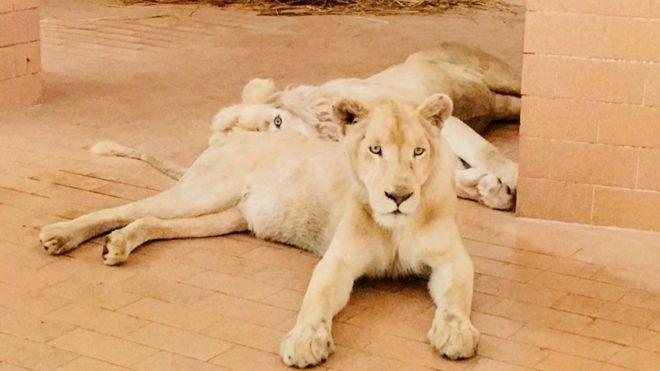لاہور کے چڑیا گھر میں چیتے اور شیروں کے جوڑوں کی آمد