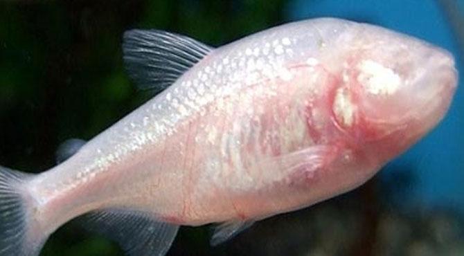 خوشخبری ۔۔شرطیہ علاج شوگر کو جڑ سے اُکھاڑ نے والی مچھلی دریافت کہا سے ملے گی ،خبر دیکھ لیں