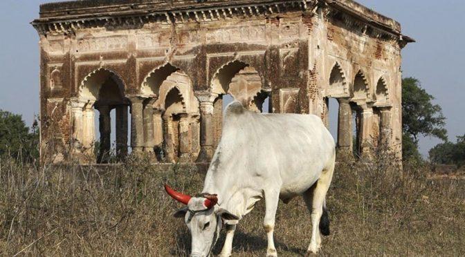 بھارت: مردہ گائے کی کھال اتارنے پرمسیحی شہری کا قتل اور 3زخمی