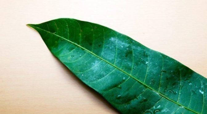 آم کے 'کرشماتی پتے' بھی متعدد امراض سے بچانے میں مددگار