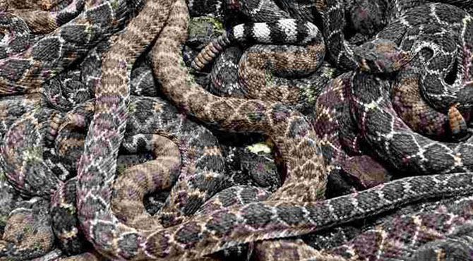 امریکی شخص کے گیراج سے درجنوں خطرناک سانپ برآمد