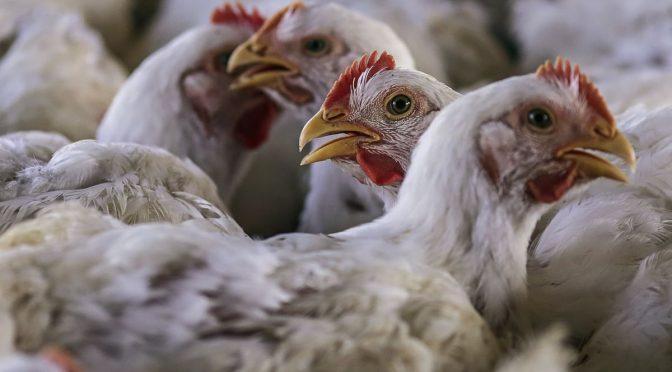 مرغی کے گوشت میں کرونا وائرس سے متعلقہ سوشل میڈیا پر وائرل نوٹیفیکیشن جعلی قرار